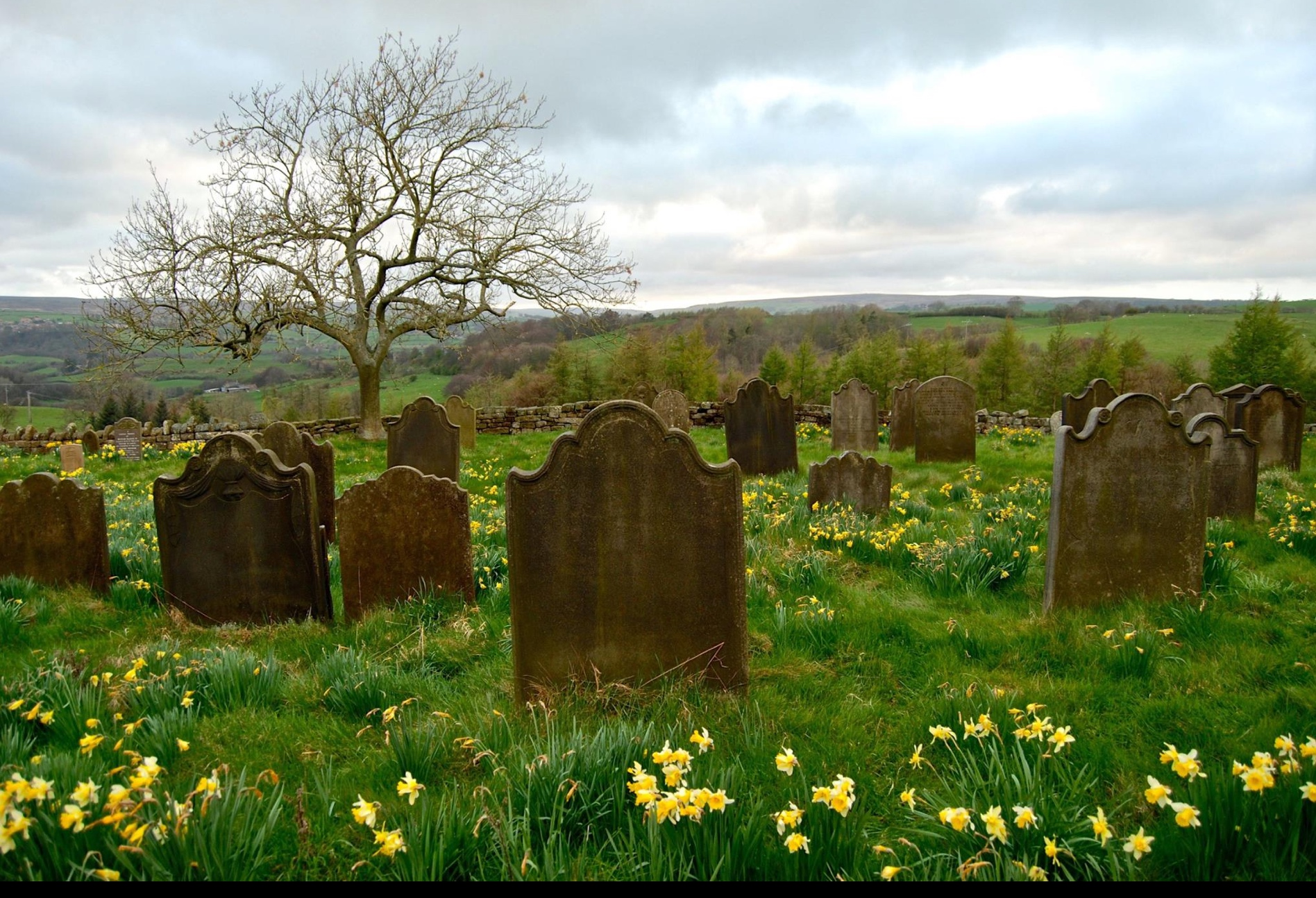 Daffodil hope in Yorkshire Cemetery