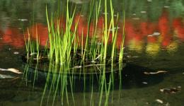 RBG water reeds
