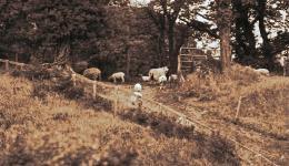sepia: sheep on Irish hillside