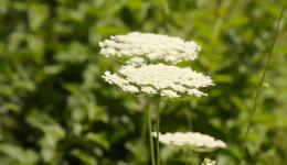 Weed, Wild Carrot