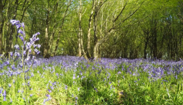 bluebells i woods