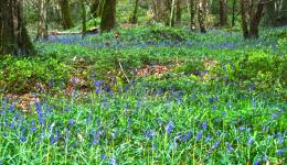 Bluebonnet Woods, Wiltshire