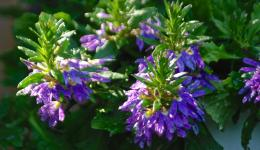 Ready for bees: purple flowers