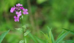 wayside flower